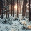 Pine forest in winter — Stock Photo #67960489