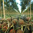 Pineapple plantation in Thailand — Stock Photo #67961403