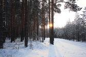 在冬天的松林 — 图库照片
