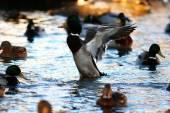 Gölde yaban ördekleri — Stok fotoğraf