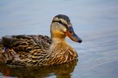 Wildlife duck in close-up — Stock Photo