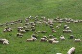 Herd of sheeps on meadow — Stock Photo