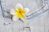 Frangipani bloem liggen op jeans. — Stockfoto