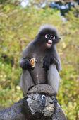 Dusky Leaf Monkey. — Stock Photo