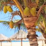 Green tree on a white sand beach, Boavista - Cape Verde — Stock Photo #60569921