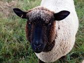 Friendly Sheep Face — Stock Photo