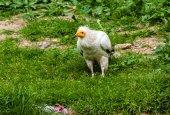 Egyptian vulture — Stock Photo