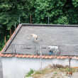 Goats and a dog at a roof — Stock Photo #58463849