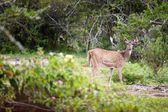 Wild deer in Mudumalai National Park — Photo