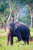 Mahout rides an elephant at Mudumalai National Park — Stock Photo