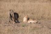 Lion — Fotografia Stock