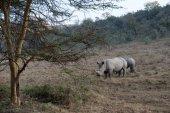 犀牛 — 图库照片