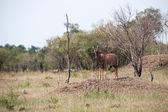 антилопа — Стоковое фото