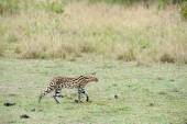 Serval — Stock Photo