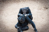 Chimpanzees in the last freedom? — Stock Photo