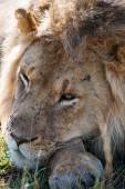 Lion in the savanna of Africa — Stock Photo