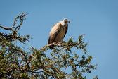 Birds in the Masai Mara — Stock Photo