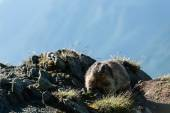 Marmota — Photo
