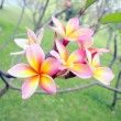 Frangipani flowers — Stock Photo #58237371