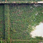 Walls covered with vines — Stock Photo