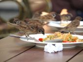 House sparrow standing on dish — Foto de Stock