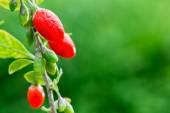 Goji berry — Stock Photo