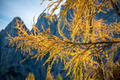Gold Larix branches, Closeup of a Larch tree with fall foliage — Stock Photo