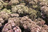 Flowers of sedum spectabile. — Stock Photo