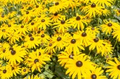 Flowers of the Echinacea or coneflower. — Stock Photo