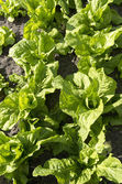 Green chicory plants. — Stock Photo