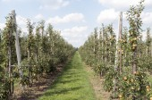 Rows of apple trees in an orchard. — Stock Photo