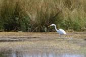 Czapla polowanie na Bagnie — Zdjęcie stockowe