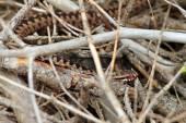 Camouflage in de natuur — Stockfoto