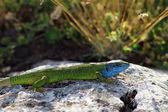 Lacerta viridis, male — Stock Photo