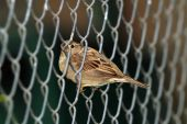 Sparrow in wire fence — Stock Photo