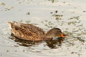Mallard duck searching for food — 图库照片