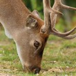 Fallow deer grazing on meadow — Stockfoto #57031889