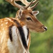 Fallow deer stag close up — Stock Photo #57031905