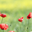 Poppies in the wind — Stock Photo #57032043