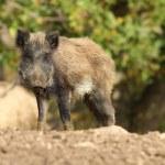 One wild boar — Stock Photo #57545623