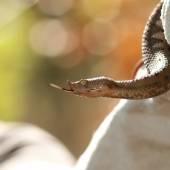 Profile view of vipera ammodytes — Stock Photo