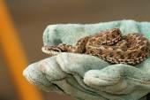Meadow viper in glove — Stock Photo