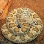 Western rattlesnake basking in terrarium — Stock Photo #63185441