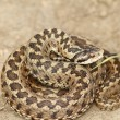 Vipera ursinii standing on the ground — Stock Photo #66124757