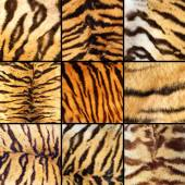 Collection of tiger stripes — Stock Photo