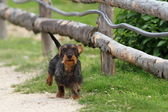 Small dog running towards camera — Photo