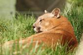 Beautiful cougar at the zoo — ストック写真
