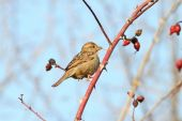 Female house sparrow on twig — Stock Photo