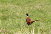 Male pheasant in the field — Stock Photo