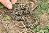 Risky hand  approach to a venomous viper — Stock Photo